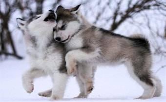 Питомник ездовых собак