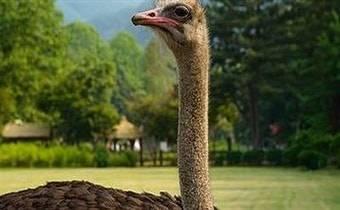 квест со страусами
