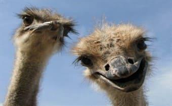 квест страусы